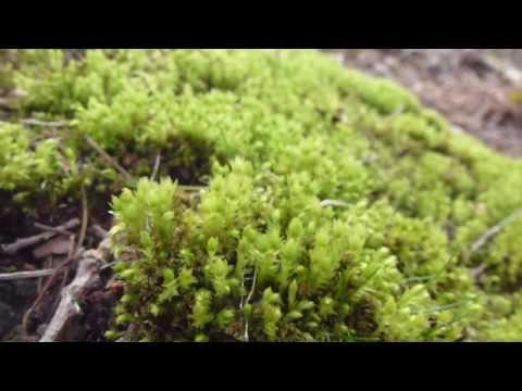 Sphagnum  - Peat moss -  Mosi -  Lyng og mosagróður