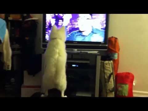 American Eskimo puppy hates bad singing
