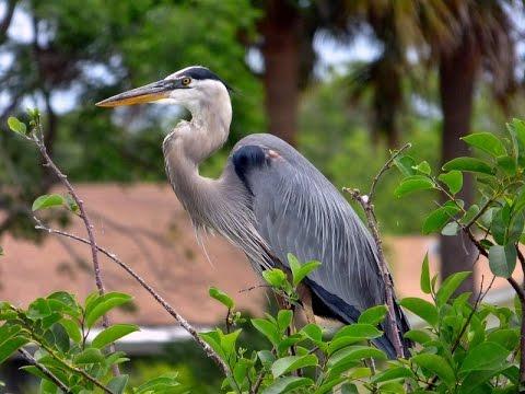 (HD) Great Blue Heron Mini-Documentary