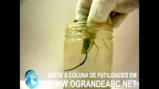 O inacreditável verme parasita que escraviza o hospedeiro