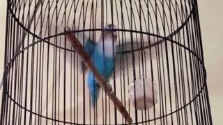 pancingan lovebird paud paruh putih