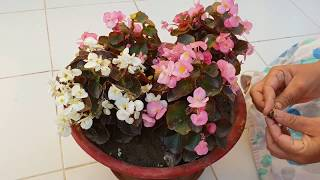 Care of Begonia Plant || How to Grow and Care Begonia Plant || Fun Gardening