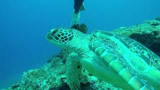ウミガメと泳ぐ!石垣島ダイビング! scuba diving with sea turtle!!