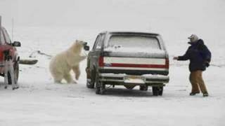 Polar Bear Attack!