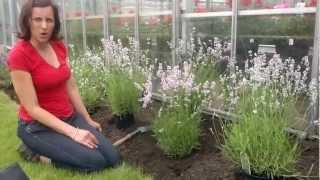 Lavender planting at Cramden Nursery. Part 1