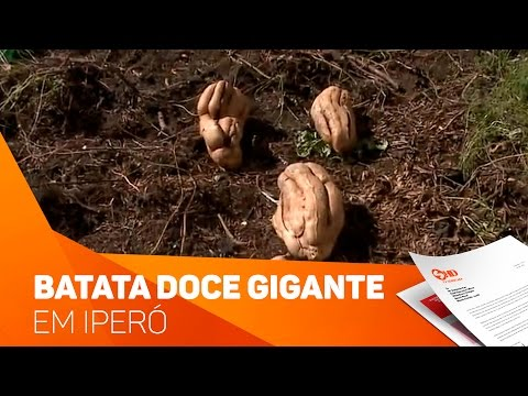 Batata doce gigante em Iperó - TV SOROCABA/SBT
