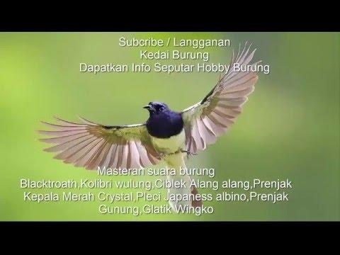 Masteran Maut - Blackthroat - Ciblek - Prenjak - Gelatik Wingko - Kolibri Wulung - Pleci Japaness