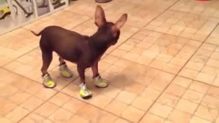 Собака учится ходить в обуви / The dog learns to walk in the shoes.
