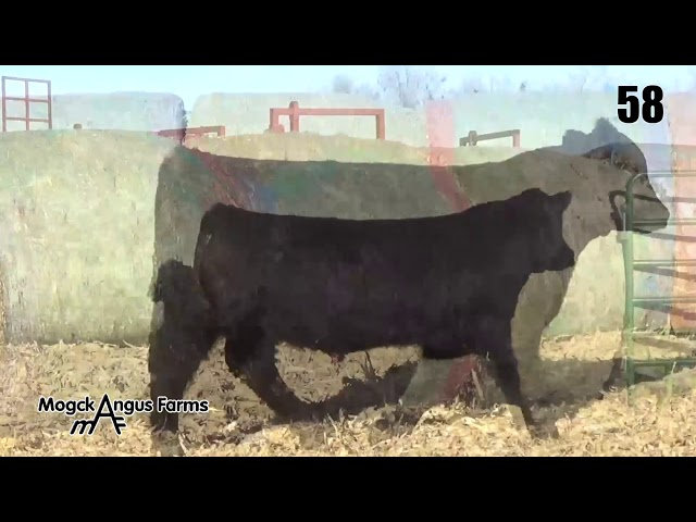 Mogck Angus Farms Lot 58