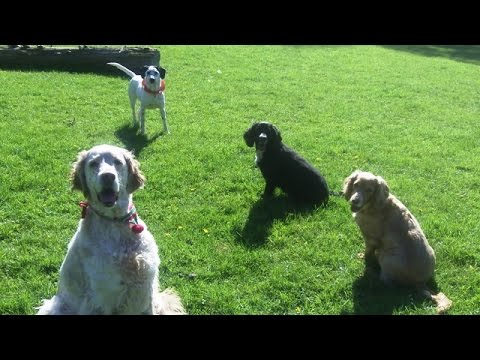 The Fab 4, Fin, Murphy, Peppa & Phoebe with Otis English Setter.