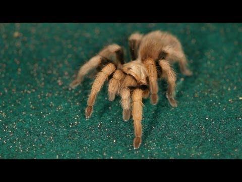 Types of Tarantulas | Pet Tarantulas