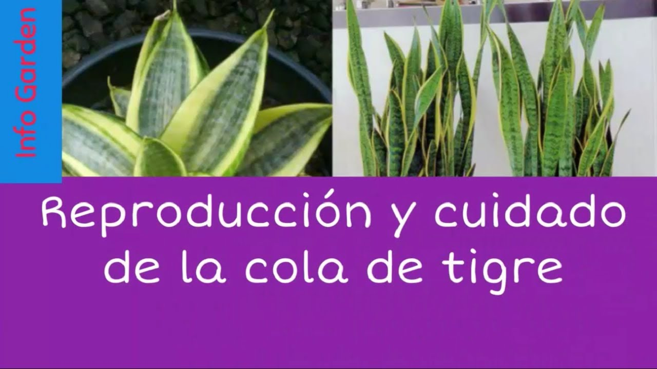 Como cuidar y reproducir la planta espada enana for Plantas de interior lengua de gato