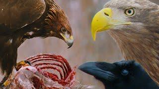 Беркут против орланов-белохвостов и воронов | Film Studio Aves