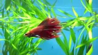 Аквариумная рыбка петушок. Содержание, уход!(Ребята, рекомендую отличный корм для Петушка !! Вот ссылка на продавца https://goo.gl/hzNB7B В этом видео я вам расска..., 2014-11-25T11:26:26.000Z)
