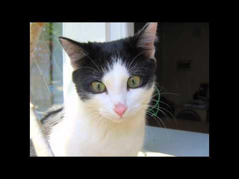 Русская белая (Russian White Cat) породы кошек( Slide show)!