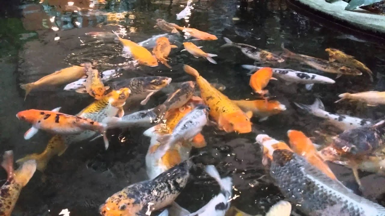 Koi fish pond rainforest 1 utama shopping mall 4k for Koi 1 utama
