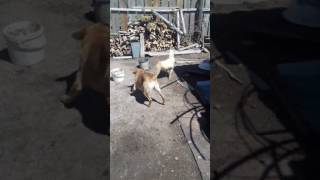 Задира собака против петуха