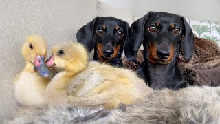 Dachshunds & Ducklings| Twining is winning.