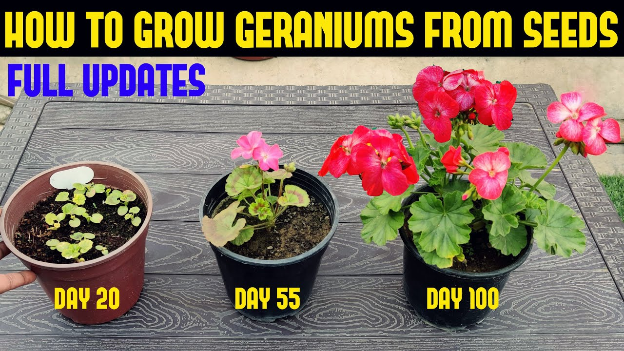 How To Grow Geranium At Home Full Information Youtube