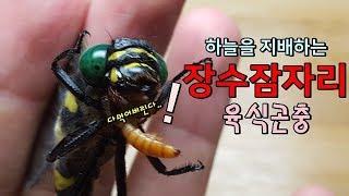 장수말벌도 못 막는다.. 손바닥만한 장수잠자리ㅎㄷㄷ  [정브르] /  a kind of dragonfly