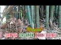 Inilah  Manfaat Daun Bambu Kering Untuk Memperbaiki  Kesuburan Tanah