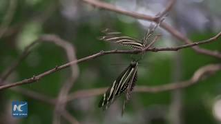 Anartia Butterfly Sanctuary preserves Honduras