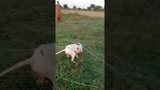 Pointer Dog Hunting very Beautiful video  #shorts