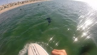 Crazy great white shark sightings at El Porto in Manhattan Beach