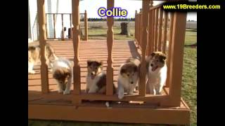 Collie, Puppies, For, Sale, In, Indianapolis, Indiana, In, Valparaiso, Goshen, Westfield, Merrillvil