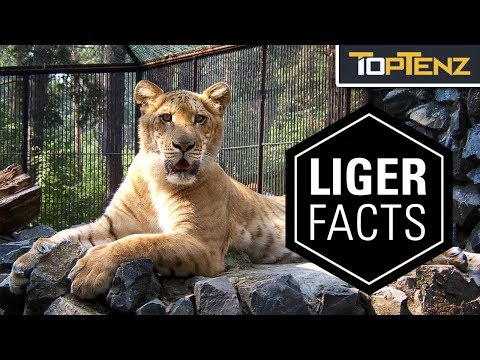 10 Interesting Facts About Ligers …and Yes, They're Real