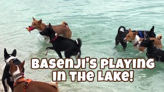 Basenji's Playing In The Lake!   March 16, 2019   South Florida Basenji Meetup