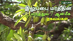 Iluppai Tree Benefits