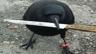 This Crow Was Found Tampering With a Crime Scene  And His Dad Was Not Best Pleased