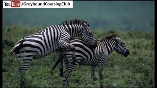 zebra | zebra lounge | Animals in Zoo