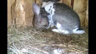 Очень громкая случка кроликов. Самка в охоте. Немного удивлен . Январь 2017 г.