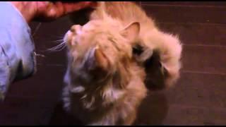 Крылатая кошка!!!! Они реально существуют!