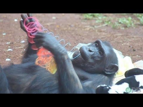 Chimpanzees: Dumber Than All Humans - Horrifying Planet - Ep. 2