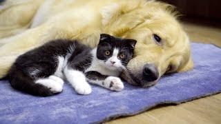 ゴールデンレトリバー犬に育てられても、性格が生みの親にそっくりな子猫