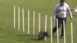 Cairn Terriers In Action