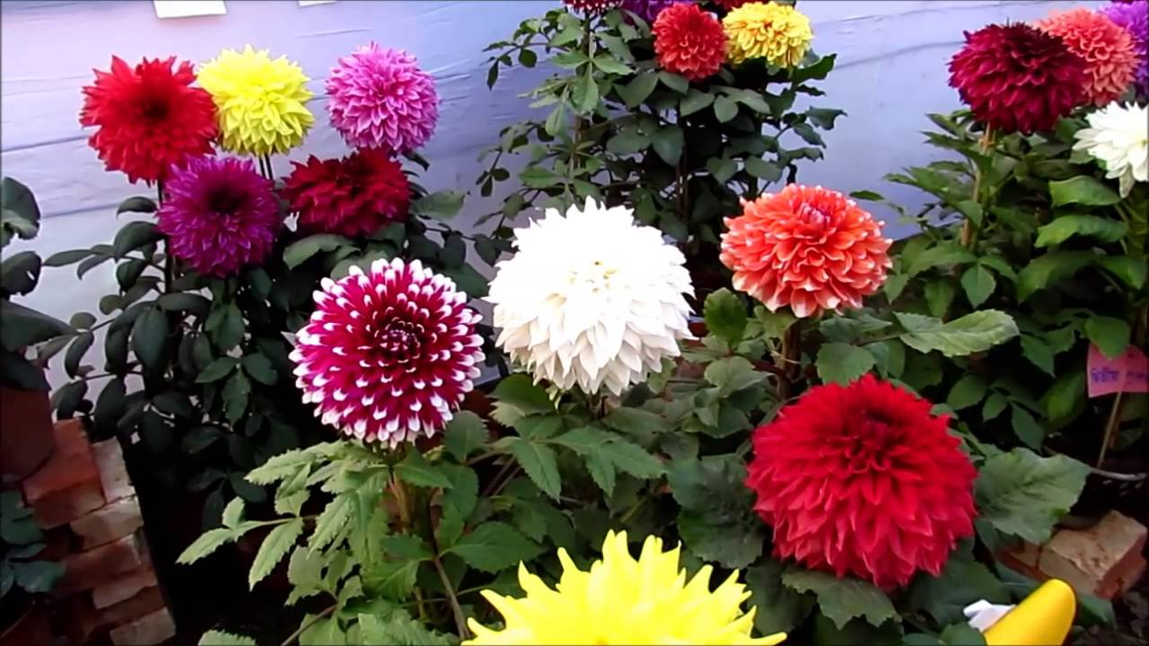 Flower Exhibition At Kolkata 2016 Dahlia Flower Youtube