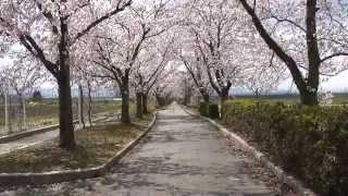 山形県 まほろば緑道の桜