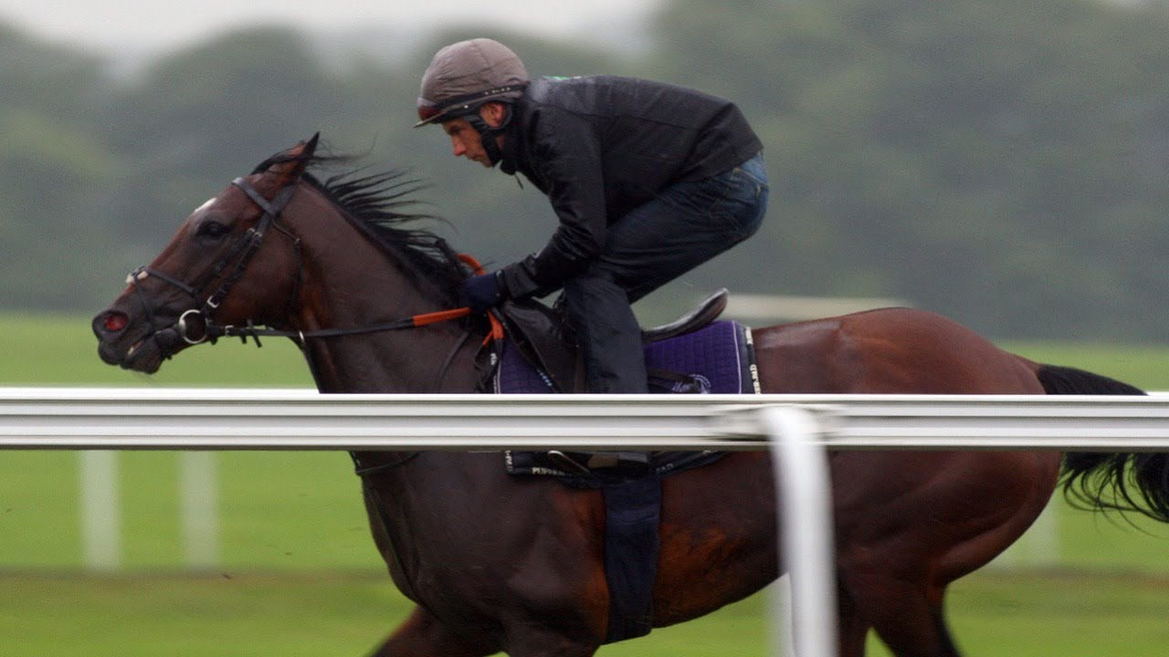 Download Frankel and his final season: Newmarket racecourse gallop