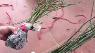Có nên trồng hoa hồng từ cành chiết | Kênh làm vườn S Garden
