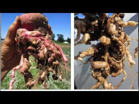Integrated Clubroot Management Strategies For Brassica Crops