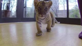 Malayan Tiger Cubs | Bronx Zoo