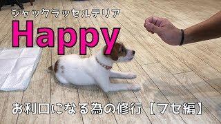 8/1生まれの子犬のメス、ジャックラッセルテリアのHappyです。 現在トレ...