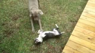 Boston Terrier Puppy & Weimaraner
