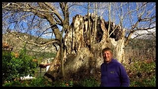 Old Plain Tree dates back to Jesus Christ.  Peloponnese, Greece