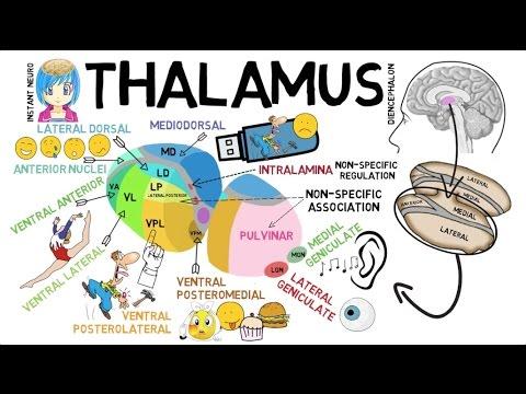 INSTANT NEURO - Thalamus