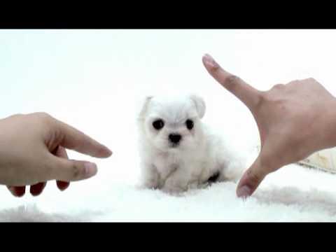 ... sale,Teacup Maltese,Chihuahua,ShihTzu,Pomeranian,Yorshire - YouTube